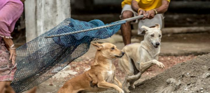 Catching street dogs for Mission Rabies vaccine study