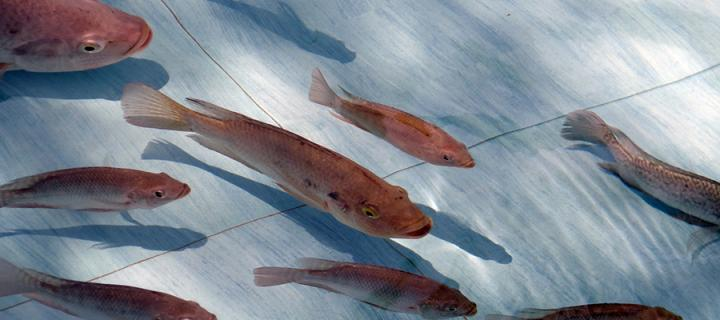 Several fish viewed from above