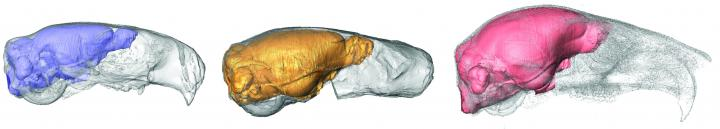 Image of virtual brain casts for Cedromus wilsoni, Protosciurus cf. rachelae and Sciurus carolinensis