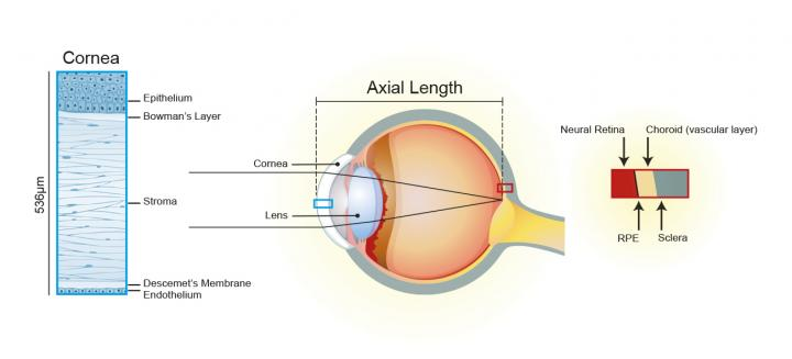 diagram of eye showing cornea and corneal cell layers