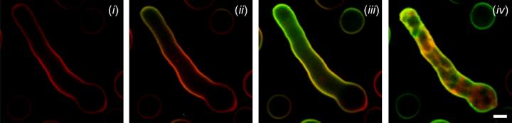 Time-lapse high-resolution imaging of Aspergillus fumigatus cells
