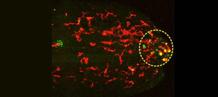 Microscopy images of living zebrafish with red macrophages show that the drug (yellow spots) is preferentially released in cells