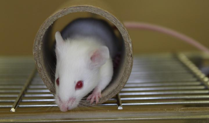 White mouse in a cardboard tube