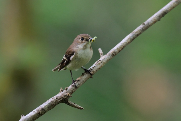 Warming springs are causing the hatching of woodland birds to fall out of sync with availability of insects
