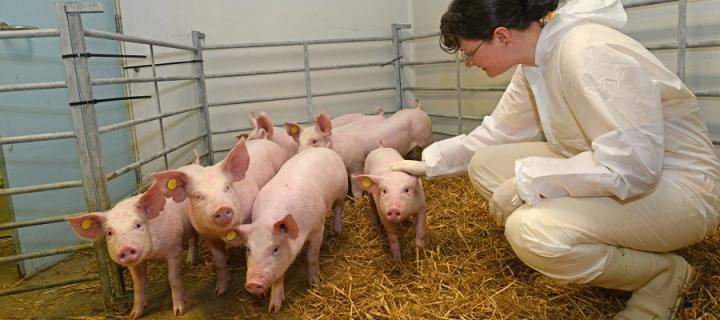 Researcher with piglets