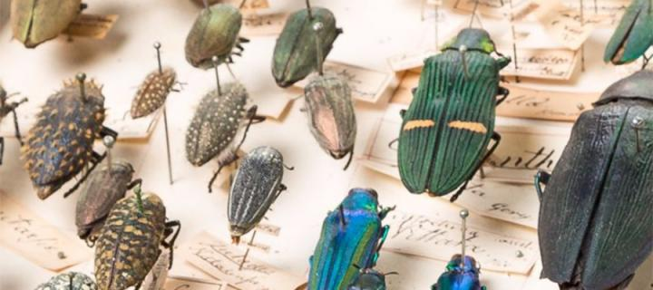 Image of pinned insects from Coimbra Virtual Exhibition
