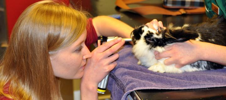 Vet inspecting a rabbit