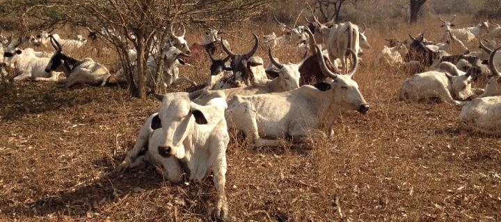 Cows in Cameroon