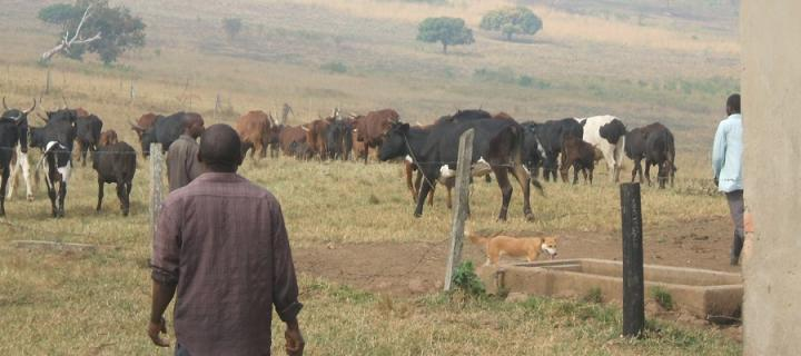 Cows, farmers and dog