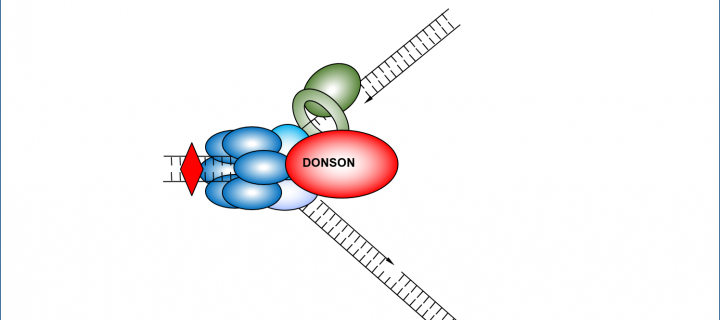 DONSON protein binding at the DNA replication fork