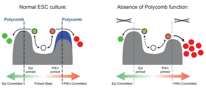 e-Life article reveals role for polycomb in stem cell priming: news 10.2016