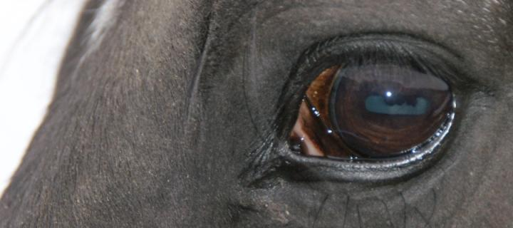 A close up on a horses eye