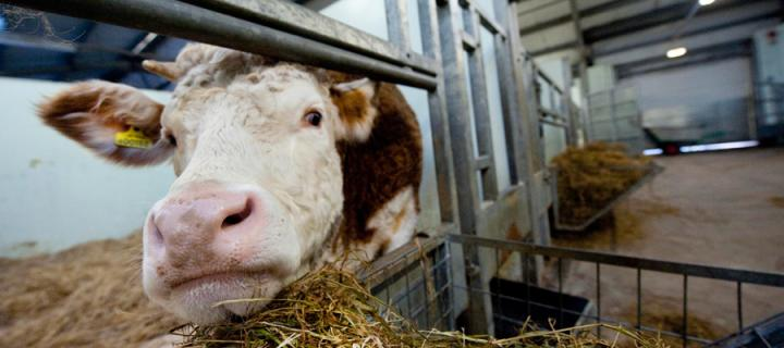 Cow in a pen