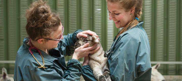 Clinician examining lamb with assistant