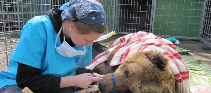Heather Bacon assessing a bear whilst sedated