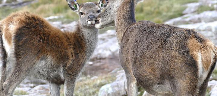 red deer on Rhum