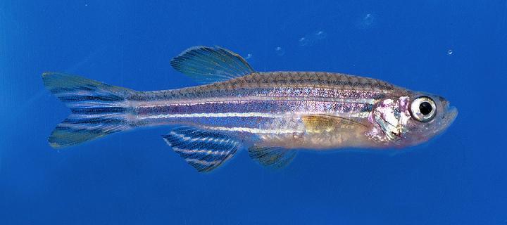 IGMM zebrafish facility