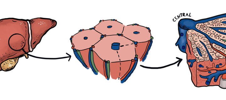 Schematic of hexagonal liver tissue architecture, including the central and portal vein.