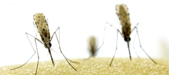 Female mosquitoes on foam