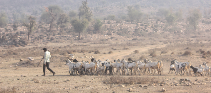Man on dusty road with goats