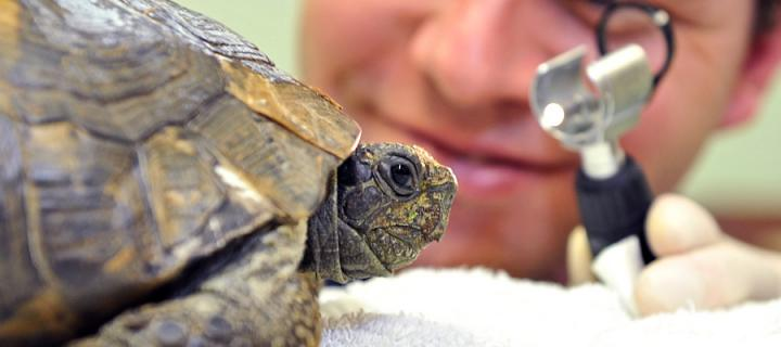 Tortoise being inspected by a Vet