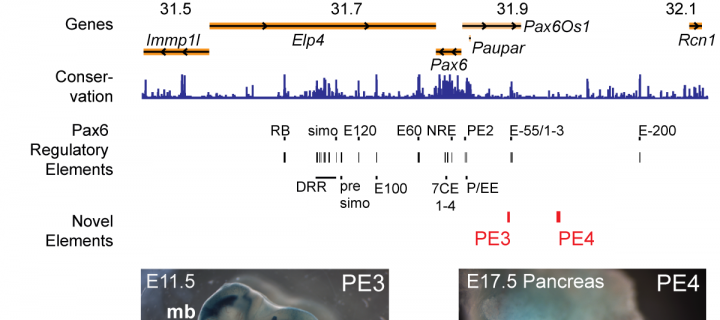 Schematic of Pax6 gene region and gene expression pattern in developing mouse