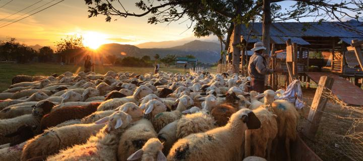 farm scene with sheep being herded at sunset