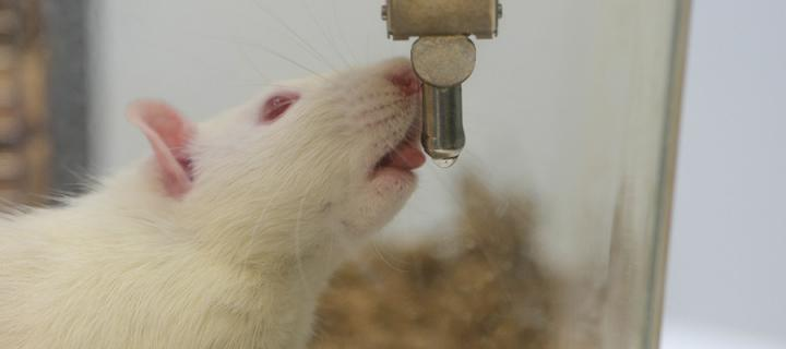 A rat drinking water.