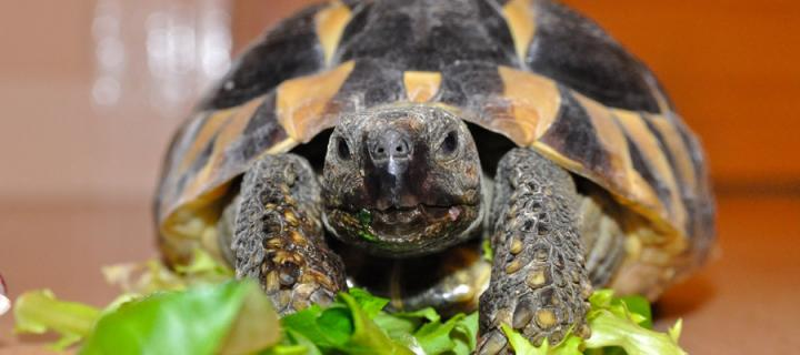 Tortoise eating leaves