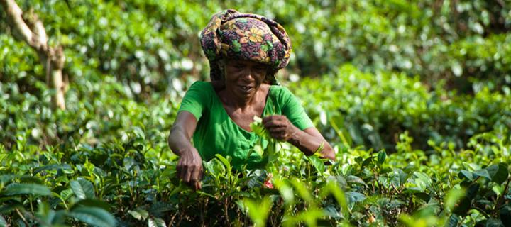 Photo of a woman picking tea leaves