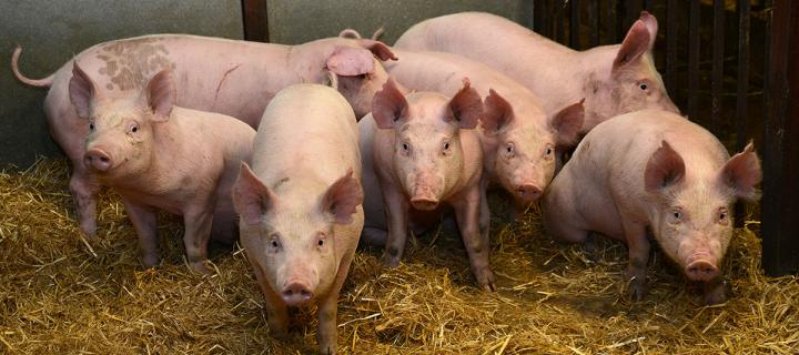 gene edited pigs produced at the roslin institute show signs of