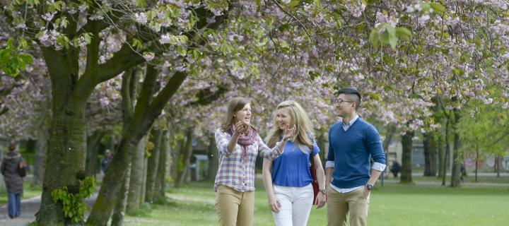 Students walk through the meadows park chatting. They are underneath cherry trees in blossom.