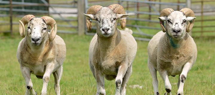 Three examples of the Texel x Scottish Blackface sheep used in the sheep gene expression atlas project