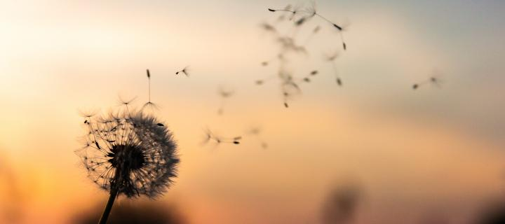 dandelion blowing in the wing