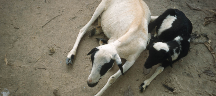 Sheep and lamb in Nigeria