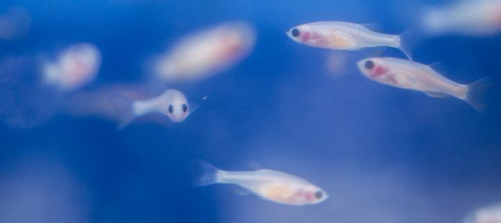 zebrafish swimming in tank