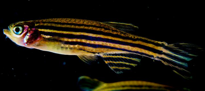 Photograph of a zebrafish