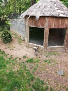An African Hunting dog!
